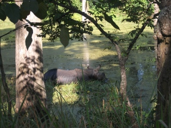 Rhino Chewing