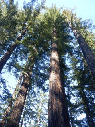 Oh, big trees.