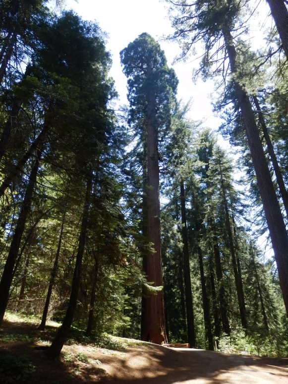 Big tree in a forest of big trees, this is a sequoa (sorry about the spelling).