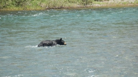 Black bear trying to cool down.